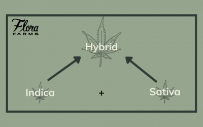 Let's Talk Hybrid Cannabis | What Does The Term Really Mean When It Comes To Medical Marijuana?